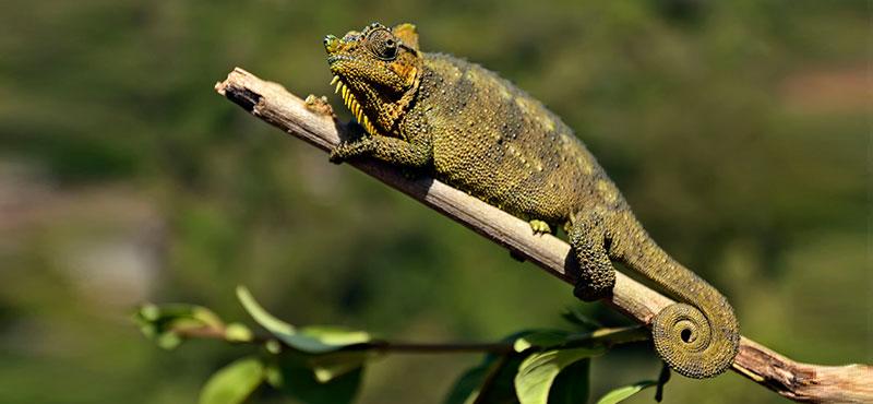 the chameleon communicator
